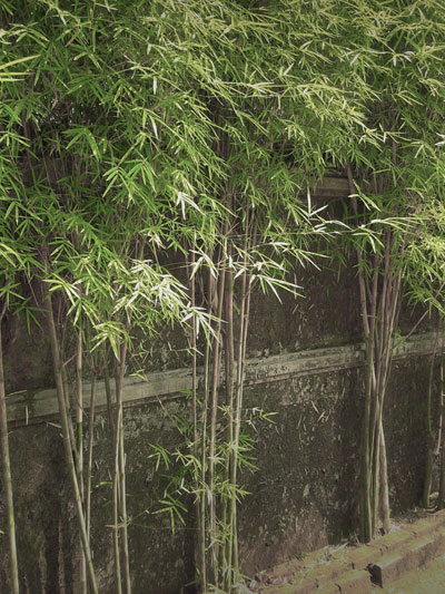02_bambu_pagar_rimbun