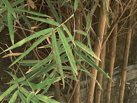 03_daun_bambu_tanpa_embun