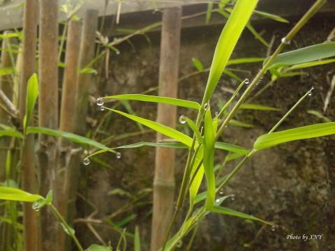embun_daun_bambu_02