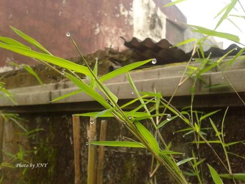 embun_daun_bambu_04